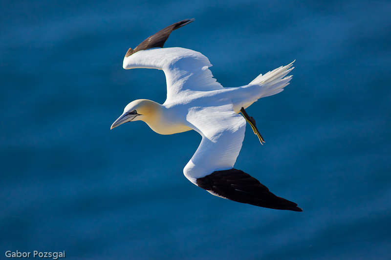 Photogabor Com Northern Gannet Morus Bassanus In Flight