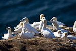 Northern Gannets (Morus bassanus) on cliff