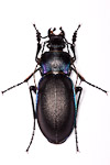 Carabus violaceus ground beetle