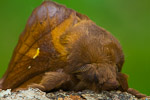 The Drinker (Euthrix potatoria)