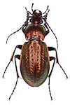 Carabus arvensis ground beetle